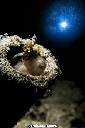 Blenny under the light. by Francesco Pacienza